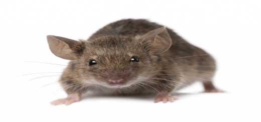 Rats in Dubai Restaurants